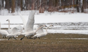 Tundra Swans stop in Huron County during their spring migration back to the Canadian Arctic.  PHOTO BY DAVE BISHOP