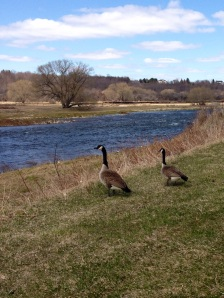 The river has thawed and some curious Canadian geese come to check out who's winning.