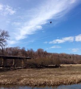 A hawk flies overhead the marshlands by the Menesetung bridge