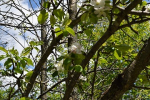 The winter was long and hard on fruit trees - and the blossoms weren't quite at their peak.