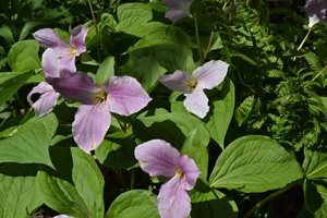 But, the Trilliums were in their prime.