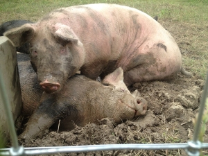 A dreamy mud hole makes for happy pigs.