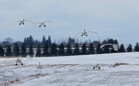 These tundra swans let down their landing gear over a farmer's field near Seaforth today. Photos courtesy of Exeter photographer Bonnie Sitter.